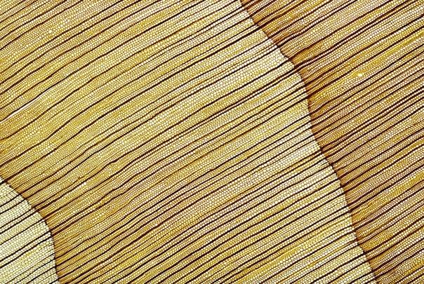 Тонкий срез древесины ливанского кедра под микроскопом неспроста напоминает библейскую пустыню