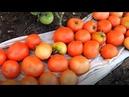 Советы огородников по выращиванию помидоров