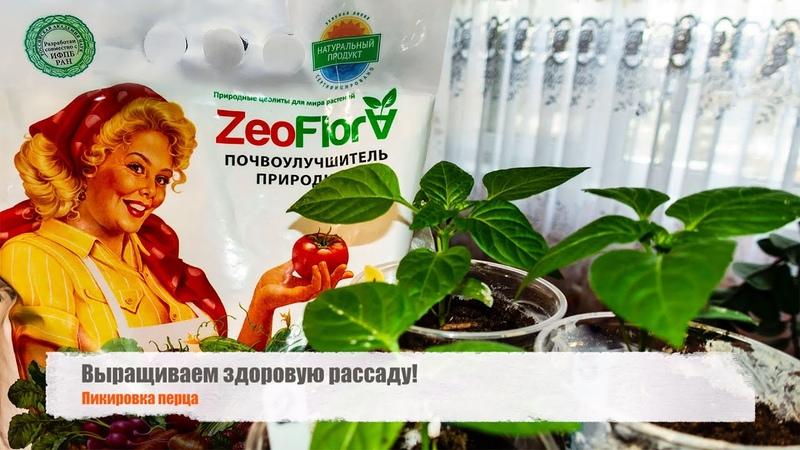 Выращиваем здоровую рассаду с помощью ЦеоФлоры! Как я пикирую рассаду перцев.