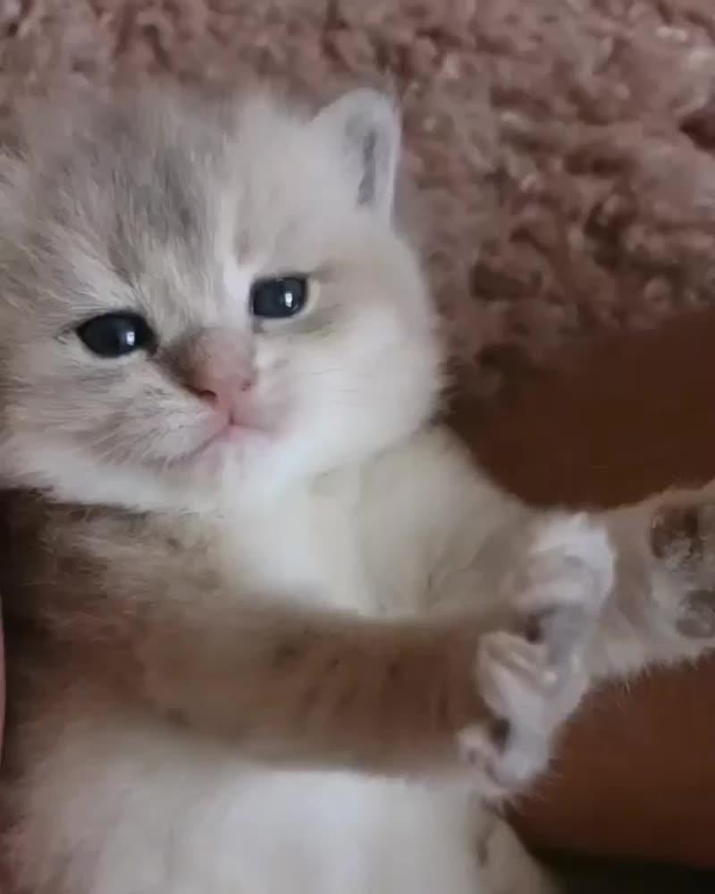 Есть свободные котята#ВалентинДеборкадер мальчик редчайшего окраса-(Голубая золотистая шиншилла)😻